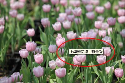 上海鲜花港 - 郁金香